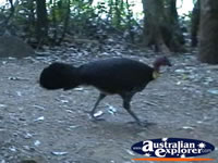 Tamborine Mountain Scrub Turkey . . . CLICK TO ENLARGE