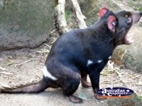 Tasmanian Devil . . . CLICK TO ENLARGE