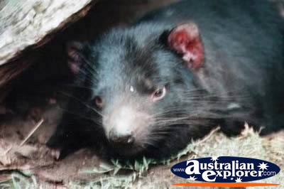 Tasmanian Devil Close Up . . . VIEW ALL TASMANIAN DEVILS PHOTOGRAPHS