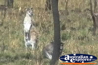 Wallaroo . . . VIEW ALL WALLAROOS PHOTOGRAPHS