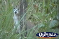 Wallaroo Behind Tree . . . CLICK TO ENLARGE