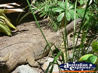 Water Monitor in the garden . . . CLICK TO ENLARGE