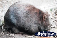 Wombat Resting . . . CLICK TO ENLARGE