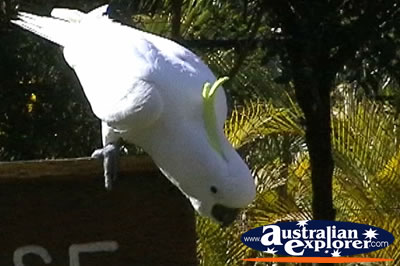Yellow Crested White Cockatoo Perched On a Sign . . . VIEW ALL COCKATOOS PHOTOGRAPHS