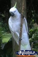 Yellow Crested White Cockatoo on Branch . . . CLICK TO ENLARGE