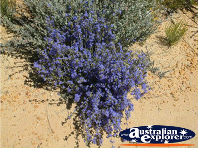 Lavender Wildflowers on Way to Dalwallinu . . . CLICK TO VIEW ALL WILDFLOWERS POSTCARDS