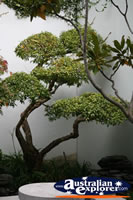 Bonsai Tree . . . CLICK TO ENLARGE