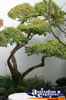 Chinese Bonsai Tree . . . CLICK TO ENLARGE