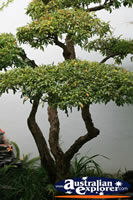 Establish Bonsai Tree . . . CLICK TO ENLARGE