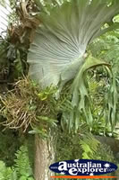 Elkhorn And Staghorn Ferns . . . CLICK TO ENLARGE