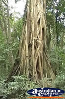 Giant Strangler Fig . . . CLICK TO ENLARGE