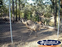 Emus at Cranky Rock in Warialda . . . CLICK TO ENLARGE
