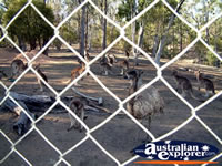 Emus and Kangaroos at Warialda Cranky Rock . . . CLICK TO ENLARGE