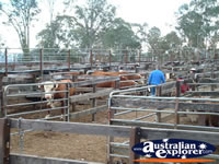 Gloucester Saleyards . . . CLICK TO ENLARGE