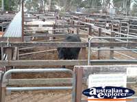 Gloucester Animal Sale Yards . . . CLICK TO ENLARGE
