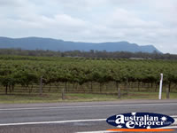 Hunter Valley Vines from Street . . . CLICK TO ENLARGE