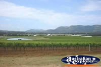 Hunter Valley Vines . . . CLICK TO ENLARGE