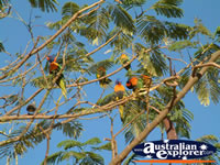 Lorikeets in a tree in Daly Waters . . . CLICK TO ENLARGE