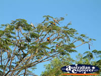 Daly Waters Lorikeets on a sunny day . . . CLICK TO ENLARGE