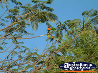 Lorikeets in Daly Waters . . . CLICK TO ENLARGE