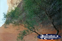 Ayers Rock Tree . . . CLICK TO ENLARGE