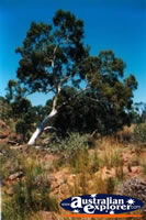 Kings Canyon Tree . . . CLICK TO ENLARGE