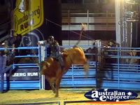 Bucking Bull at Rodeo . . . CLICK TO ENLARGE
