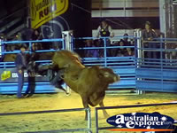 Bull Throwing Rider Off . . . CLICK TO ENLARGE
