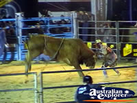 Rodeo Clown with Bull at Rodeo . . . CLICK TO ENLARGE