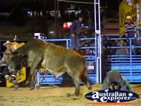 Rider Has Fallen Off Bull . . . CLICK TO ENLARGE