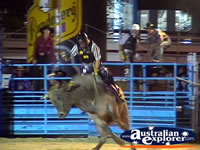 Bull Bucking at Rodeo . . . CLICK TO ENLARGE