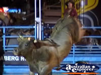 Bucking Bull Closeup . . . CLICK TO ENLARGE