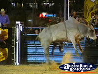 Jumping bull at Rodeo . . . CLICK TO ENLARGE