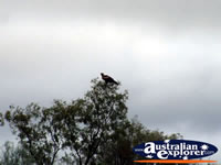 Eagle in Tree on the road to Augathella . . . CLICK TO ENLARGE