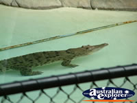 Australia Zoo Alligator in Water . . . CLICK TO ENLARGE