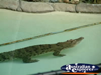 Australia Zoo Alligator Swimming . . . CLICK TO ENLARGE