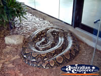 Australia Zoo Boa Constrictor Sleeping . . . CLICK TO ENLARGE