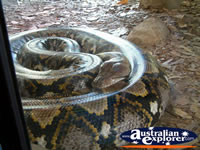 Australia Zoo Boa Constrictor in Cage . . . CLICK TO ENLARGE