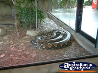 Australia Zoo Boa Constrictor from a Distance . . . CLICK TO ENLARGE
