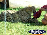 Australia Zoo Cheetah Being Fed . . . CLICK TO ENLARGE