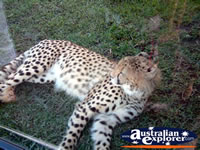Australia Zoo Cheetah Lying Down . . . CLICK TO ENLARGE