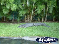 Australia Zoo Crocodile Lying in the Grass . . . CLICK TO ENLARGE