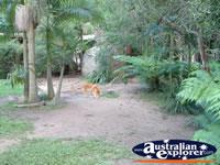 Australia Zoo Dingo from a Distance . . . CLICK TO ENLARGE
