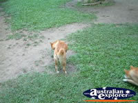 Australia Zoo Dingoes Eating . . . CLICK TO ENLARGE