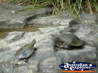 Australia Zoo Turtles . . . CLICK TO ENLARGE