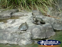 Australia Zoo Turtles On Rock . . . CLICK TO ENLARGE
