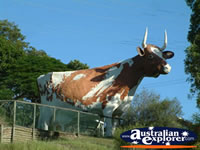 Nambour Cow . . . CLICK TO ENLARGE