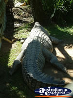 Close Up of Crocodile at Johnstone River Croc Farm . . . CLICK TO ENLARGE