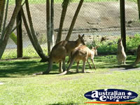 Kangaroo at Innisfail Johnstone River Croc Farm . . . CLICK TO ENLARGE