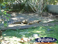 Innisfail Johnstone River Croc Farm Large Croc in Viewing Area . . . CLICK TO ENLARGE